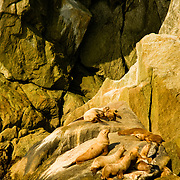 Stellar's sea lions at home in Aialik Bay in Kenai Fjords National Park Alaska