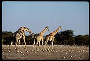 06: ETOSHA GIRAFFES & ZEBRAS