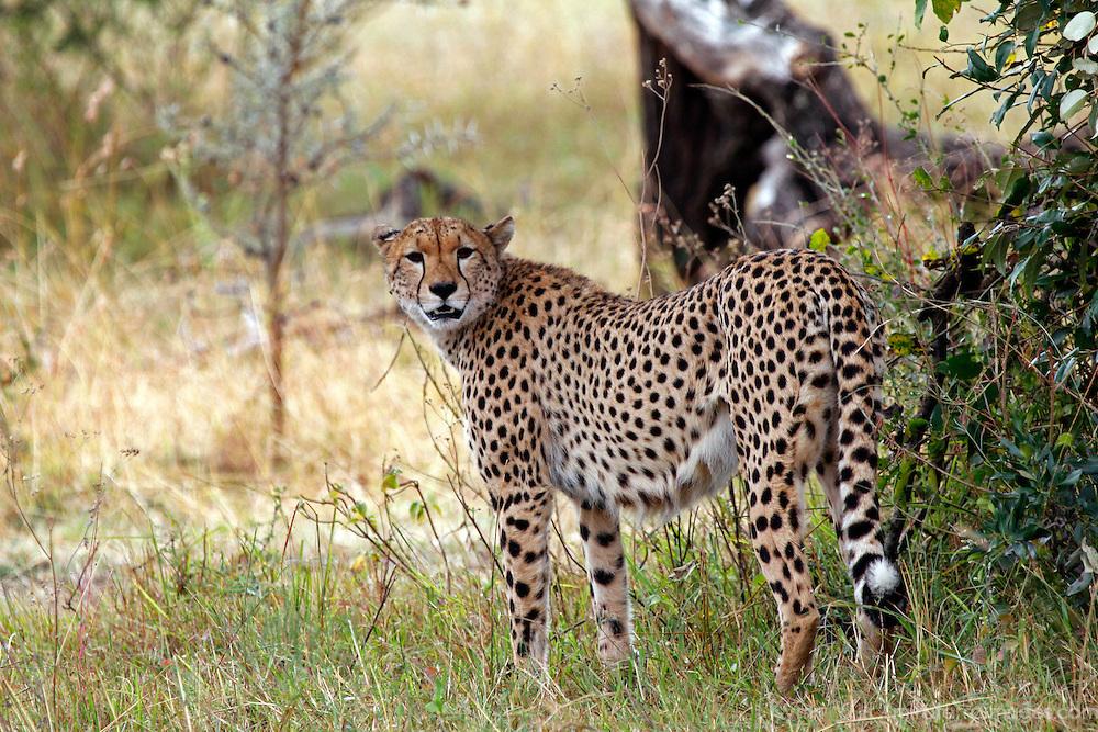 Africa, Kenya, Masai Mara. A cheetah looks back.