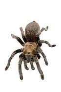 Tarantula (Aphonopelma armada) - female<br /> captive individual<br /> 18-June-2015<br /> J.C. Abbott &amp; K.K. Abbott