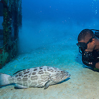 Yellowfin grouper (Mycteroperca venenosa) and scuba diver look at each other at El Águila wreck; West End, Roatan, Honduras.