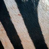 Africa, Tanzania, Ngorongoro Crater.  Zebra stripes, close up.