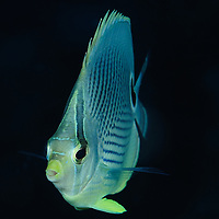 Foureyed Butterflyfish