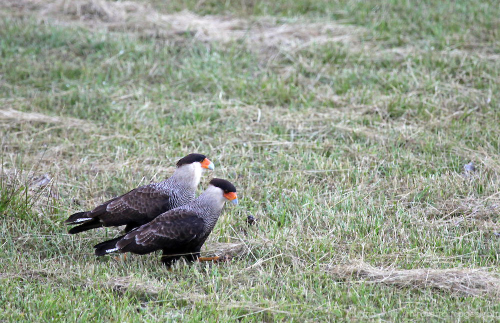 South America, Brazil, Pantanal. A pair of Crested Caracaras in the grasses of teh Caiman Ecological Reserve in the Pantanal.