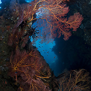 Wall of gorgonian sea fans at Deacon's Reef in Milne Bay, Papua New Guinea. Bob Halstead has picked up broken sea fans over many years and planted these sea fans on this wall, producing a beautiful dive site, with overhanging trees visible above.