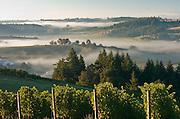 Foggy morning over pinot noir vines in Willamette Valley, from WillaKenzie Estate, Oregon