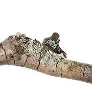 Treehopper (Telamona concava) mimicking lichen