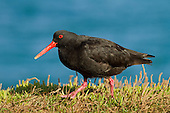 Variable Oystercatcher Pictures - Photos