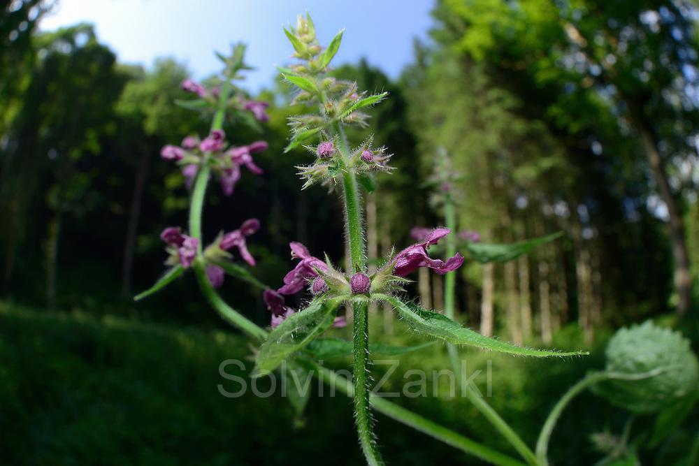 Wald-Ziest (Stachys sylvatica)