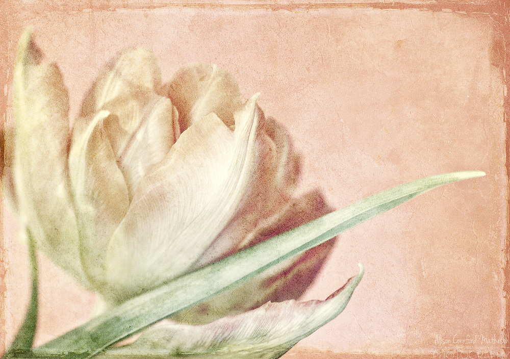 Soft Pink - Tulip - Timeless Garden Series<br /> <br /> The images in the Timeless Garden Series are available to order as fine art prints. Please contact me for details.