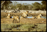 02: ETOSHA LION YOUNG ADULTS