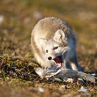 Norway, Svalbard, Edgeoya Island, Arctic Fox (Vulpes lagopus) playing with feathers on tundra along Diskobukta
