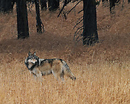 In 1995, 14 gray wolves were reintroduced into Yellowstone National Park. By 2007, the wolf population inside Yellowstone had grown to approximately 171 individuals with population numbers dropping to 78 in 2012 due to disease and natural attrition. <br />