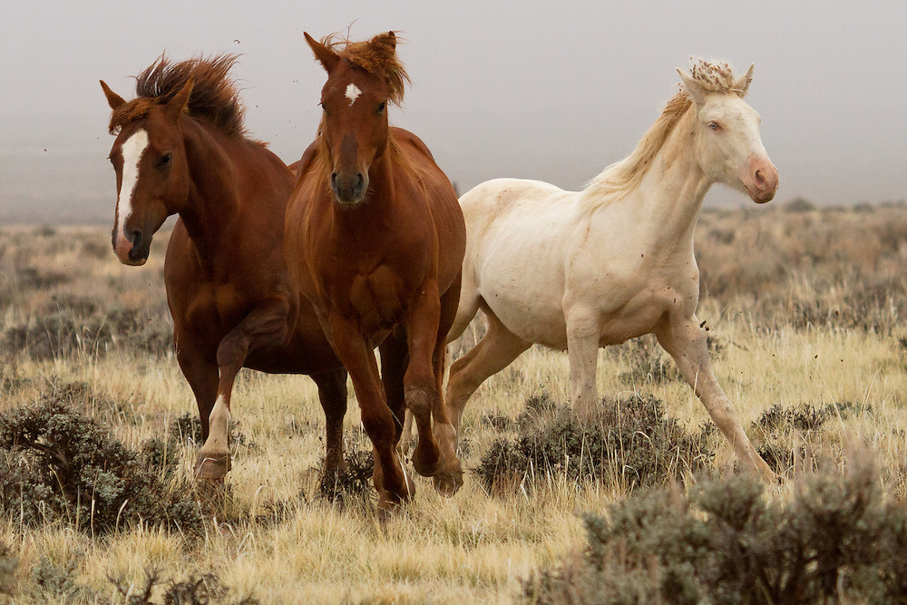 Fleeing from an advancing stallion, these mustangs can gallop at speeds up to 35 miles an hour. Wild mustangs are built for endurance in hot and dry climates, and can keep this pace for extended periods of time.