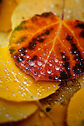 """SHOT 9/23/14 2:00:14 PM - Rain drops form on fallen aspen leaves that have changed colors near Rollinsville, Co. in the Arapaho National Forest. Aspens are trees of the willow family and comprise a section of the poplar genus, Populus sect. Populus. The Quaking Aspen of North America is known for its leaves turning spectacular tints of red and yellow in the autumn of the year (and usually in the early autumn at the altitudes where it lives). This causes forests of aspen trees to be noted tourist attractions for viewing them in the fall. These aspens are found as far south as the San Bernardino Mountains of Southern California, though they are most famous for growing in Colorado. Autumn leaf color is a phenomenon that affects the normally green leaves of many deciduous trees and shrubs by which they take on, during a few weeks in the autumn months, one or many colors that range from red to yellow. The phenomenon is commonly called fall colors and autumn colors, while the expression fall foliage usually connotes the viewing of a tree or forest whose leaves have undergone the change. In some areas in the United States """"leaf peeping"""" tourism between the beginning of color changes and the onset of leaf fall, or scheduled in hope of coinciding with that period, is a major contribution to economic activity. (Photo by Marc Piscotty / © 2014)"""