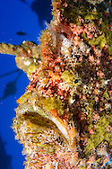 Frogfish, Antennarius commerson, (Latreille, 1804), Giant Frogfish, Carthaginian, Maui Hawaii
