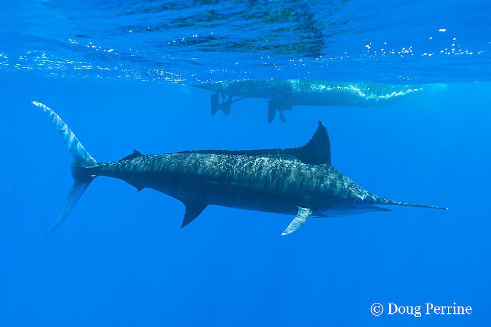 free swimming blue marlin, Makaira nigricans, passes by charter vessel Reel Addiction, Vava'u, Kingdom of Tonga, South Pacific