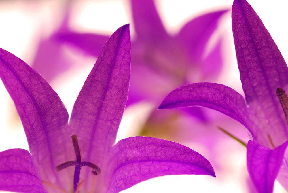 France, Languedoc Roussillon, fleurs de Campanule raiponce, N.L.: Campanula rapunculus, Campanulacées