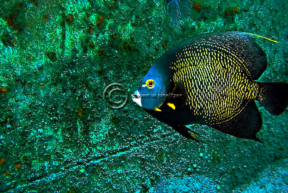 French Angelfish, Pomacanthus paru, Oro Verde shipwreck, (Bloch, 1787), Grand Cayman