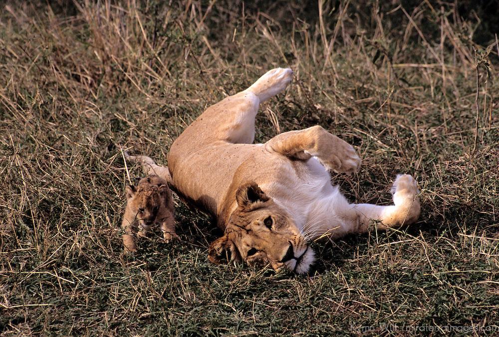 Africa, Kenya, Maasai Mara. A mother lioness cares for her cub in the Maasai Mara, Kenya.