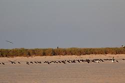 A flock of Brown Boobies rest on Adele Island, a major bird rookery on the Kimberley coast.
