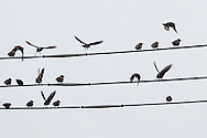 Middletown, New York - A flock of starlings gather on utility wires on Jan. 1, 2016.