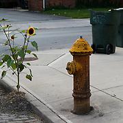 Sunflow growing by a street on a sidewalk. sunflower, street, urban, sidewalk, flower, leaf, juxtaposition, fire hydrant, trash cans<br />