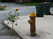 Sunflow growing by a street on a sidewalk. sunflower, street, urban, sidewalk, flower, leaf, juxtaposition, fire hydrant, trash cans<br />