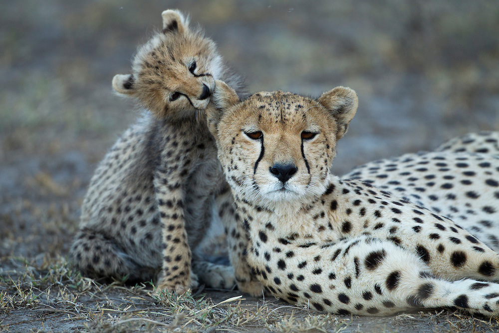 Tanzania, Ngorongoro Conservation Area, Ndutu Plains, Young Cheetah Cub (Acinonyx jubatas) chewing on mother?s ear while playing on savanna