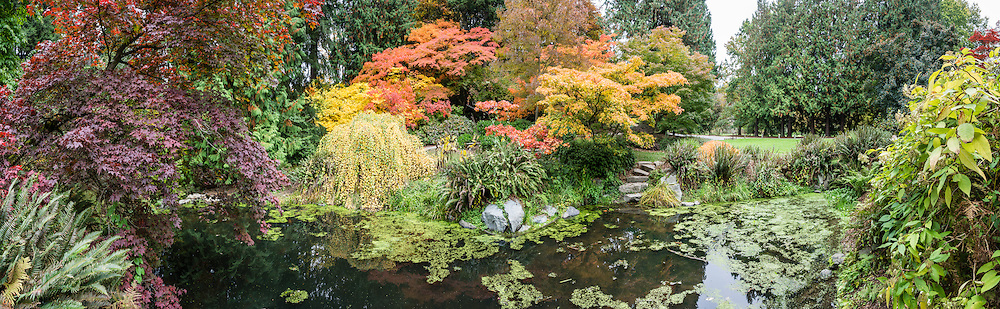 Maple tree leaves glow in autumn at UW Arboretum. Washington Park Arboretum is a joint project of the University of Washington, the Seattle Department of Parks and Recreation, and the nonprofit Arboretum Foundation, in the State of Washington, USA. Photographed October 22.  The panorama was stitched from 10 overlapping photos.