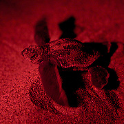 """A leatherback hatchling (seen with a red """"safe"""" light) moves towards the ocean after being helped by a beach-goer that spotted it heading away from the beach and towards the lights of beachfront properties. Scientific estimates indicate that only one in 1000 hatchlings will survive to become a reproductive adult sea turtle. Loss of nesting beaches due to coastal overdevelopment hinder turtles from laying eggs. Light pollution which causes hatchlings to go AWAY from the water and predators ranging from raccoons, birds and even domesticated animals have the odds stacked against them before they ever reach the water. Environmental disasters such as oil spills can be devastating to the animals which spend most of their time underwater but have to surface to breath. It's currently a tough world for a creature that's been around for millions of years."""
