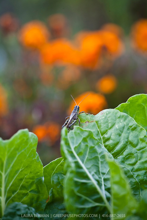 A large grasshopper takes possesion of a patch of nasturtiums and chard.