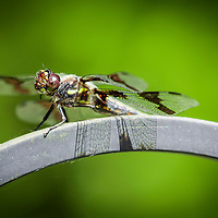 Shoot/Week 23: Dragonflies
