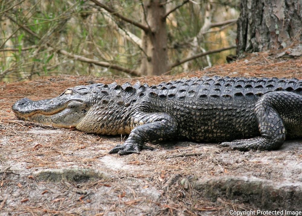 Large Jekyll Island Alligator sleeping on swamp bank