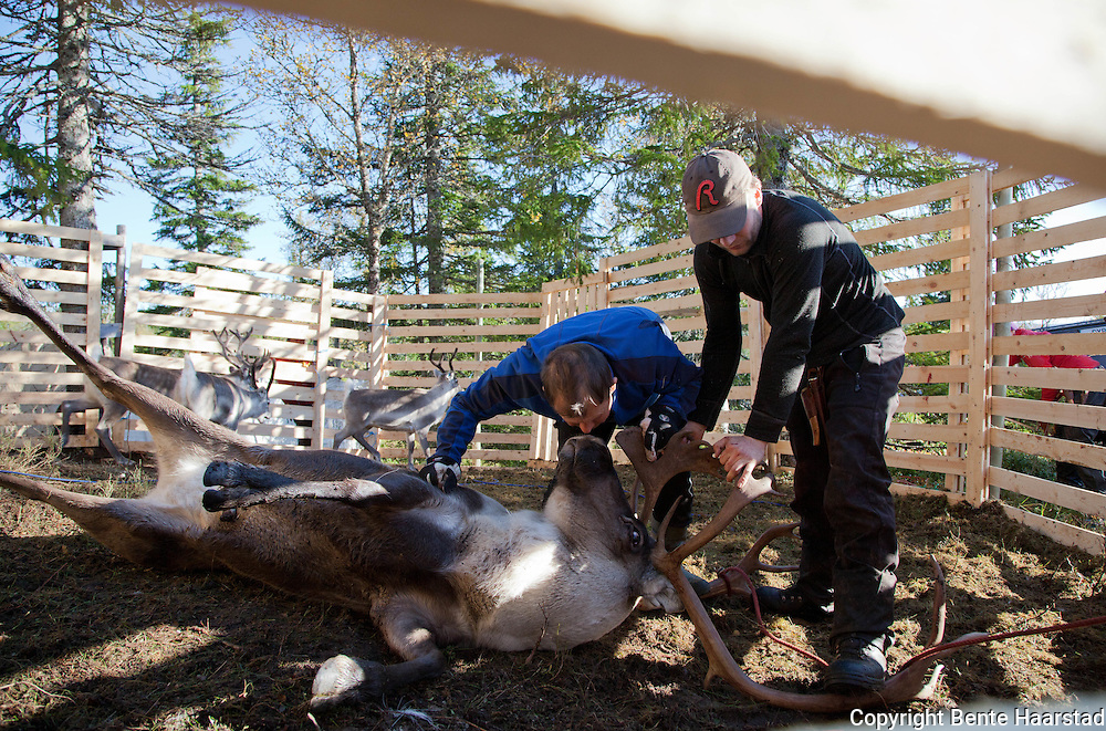 Checking if the reindeer bull is ready for mating season. If so, it makes the meat inedible, and it can not be slaughtered.