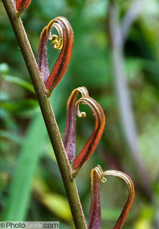 New leaves unfurl in Bellavista Cloud Forest Reserve, near Quito, Ecuador, South America.