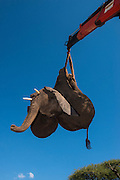 Tranquilized elephant being loaded by crane<br /> &amp; capture team<br /> (Loxodonta africana)<br /> Elephants darted from helicopter to be relocated.<br /> Zimbabwe