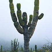 """Baja California, MEXICO: The cardón cactus (Pachycereus pringlei) is the world's largest cactus. American botanist, Cyrus Pringle, named the species in Latin: ''pachy'' which means thick and ''cereus'' meaning waxy. ''Cardo'' means ''thistle'' in Spanish. The cardón is nearly endemic to the deserts of the Baja California peninsula. Some of the largest cardones have been measured at nearly 21 meters (70 feet) high and weigh up to 25 tons. These very slow growing plants are also extremely long-lived, and many specimens live well over 300 years. Published in Americas Magazine, """"Bizarre Blooms of Baja"""" article, April 2006 (official magazine of the Organization of American States, OAS)"""