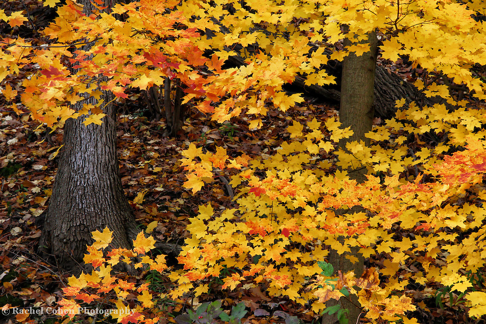 &quot;Orange Tipped Maples&quot;<br /> <br /> An intimate look into a beautiful woodland setting filled with lovely Maple trees. Vibrant yellow leaves with orange tips bring color and contrast to the image!!<br /> <br /> Fall Foliage by Rachel Cohen