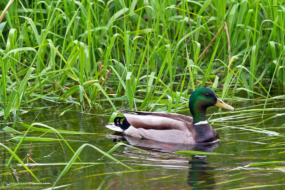 A Male Mallard Duck (Anas platyrhynchos) swimming in the Little Campbell River in Campbell Valley Park, British Columbia, Canada