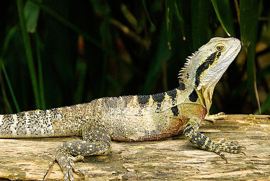 Male Eastern Water Dragon Eastern Water Dragon