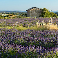Barn in blooming lavender field near the town of Valensole,,Provence,France,Europe,Alpes-de-Haute-Provence