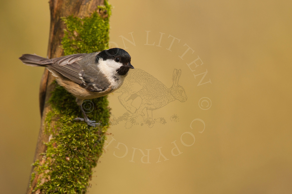 Coal Tit (Parus ater) adult, perched on mossy branch, winter, UK.