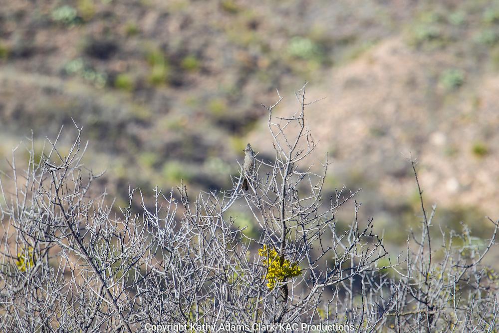 Phainopepla, Phainopepla nitens, Big Bend National Park, Chihuahuan Desert, west Texas, winter.