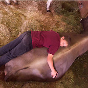 "A boy sleeps with his prize cow in the cattle barn at the Iowa State Fair in Des Moines, Iowa.   The annual August event was the model for the musical, ""State Fair"", and attending the fair has been designated as ""one of the 1,000 things to do before you die."""