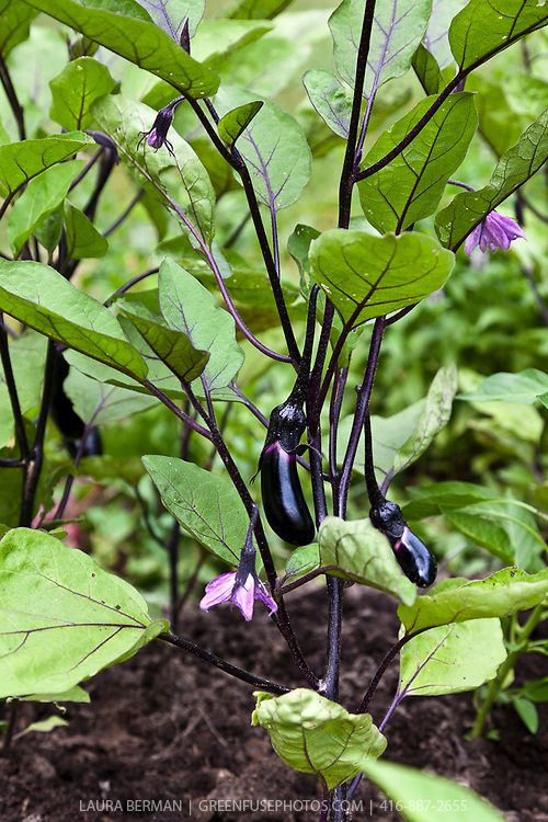 'Little Fingers' eggplant (Solanum melongena)  produces an abundance of slim long, dark purple, 6 to 8 inch fruits.