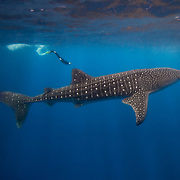 An underwater profile of a whale shark (Rhincodon typus) with a scuba diver in Gladden Spit & Silk Cayes Marine Reserve, off the coast of Placencia, Stann Creek, Belize.