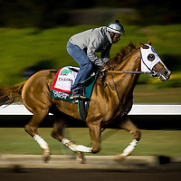 CYPRESS, CA - OCTOBER 27: California Chrome, with exercise rider Dihigi Gladney aboard, completes his final preparation for the Breeders' Cup Classic, working 6 furlongs in 1:12 1/5 seconds at Los Alamitos Race Track on October 27, 2016 in Cypress, California. (Photo by Alex Evers/Eclipse Sportswire/Getty Images)
