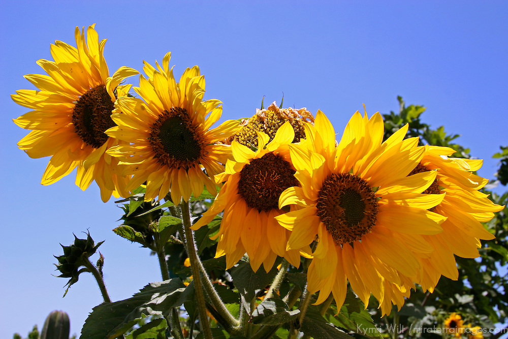 Sunflower and Sky - one of a series of images created in the memory of Chelsea King and Amber Dubois. A portion of the proceeds from the sale or licensing of these images will be donated to the National Center for Missing Children.
