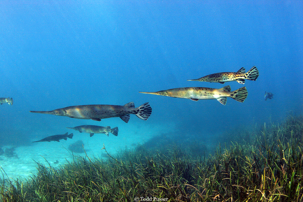 A school of Longnose gar (Lepisosteus osseus) in Rainbow River, Florida